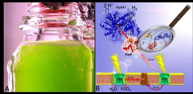 Wasserstoff aus dem Reagenzglas – Wissenschaftler setzen auf Grünalgen