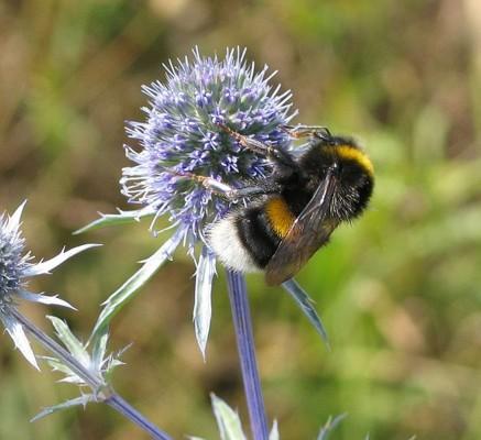 Hummel bei der Bestäubung - die anschließend herumfliegenden Pollen schaden dem Autolack