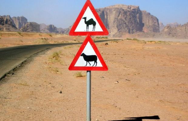 Ausländische Verkehrsregeln: Kamele haben Vorfahrt