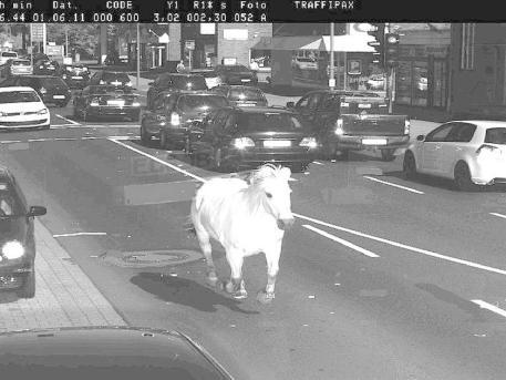 Schneller als die Polizei erlaubt: Ein Pferd geblitzt