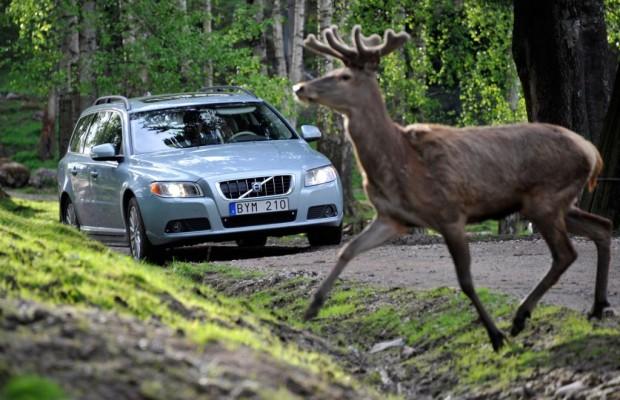 Wild auf Brautschau: Obacht Autofahrer