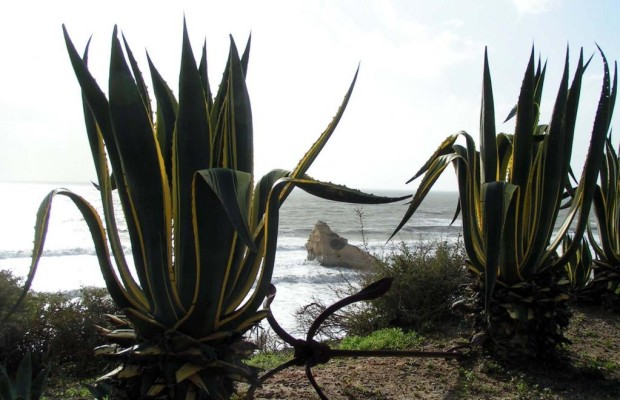 Agave: Biokraftstoff statt Tequila
