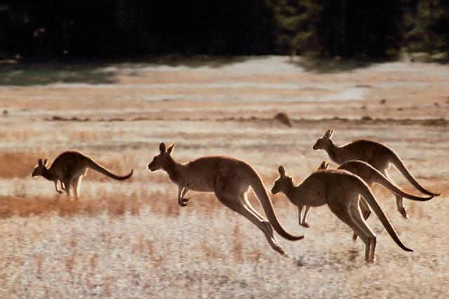 Statt Känguru und Bondi Beach: Australische Massenraserei
