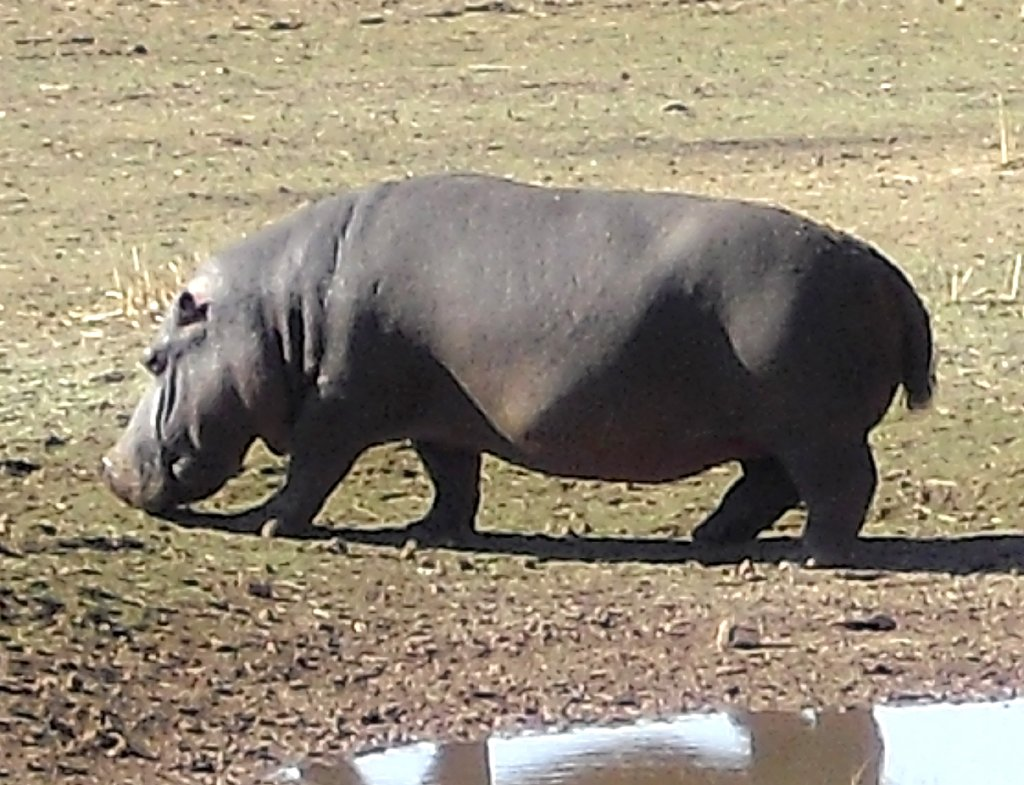 Flusspferd unweit der Mount Etjo Safari Lodge.