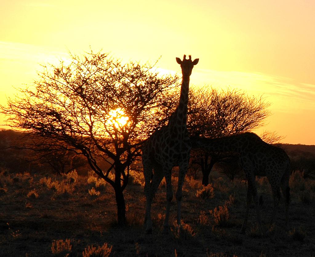 Sonnenuntergang im Okonjati-Wildreservat: Giraffe vor Akazienbaum.