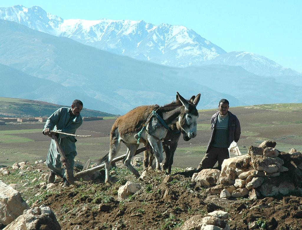 Steinige (Feld-)Arbeit: Eselsgespann beim Pflügen vor der Kulisse des Hohen Atlas.