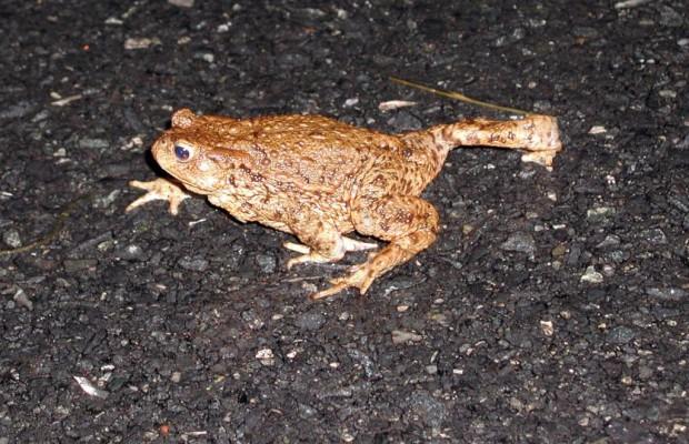 Amphibien gehen jetzt auf Wanderschaft