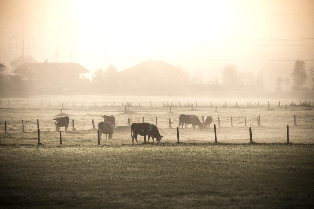 Reif hat teilweise schon die Wiesen bedeckt, auf denen die Kühe weiden.