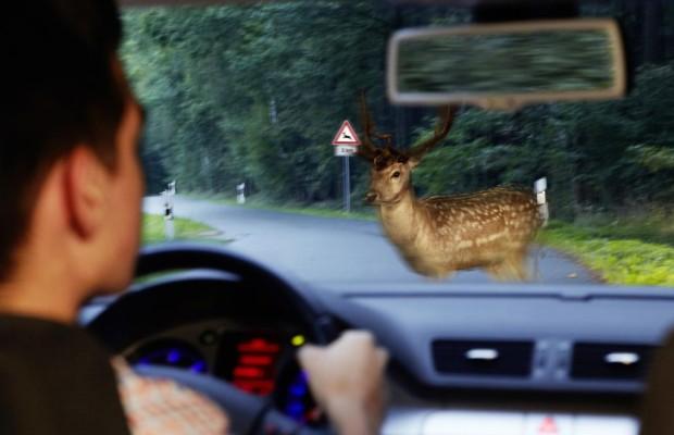 Wildunfälle im Herbst - Die unterschätzte Gefahr