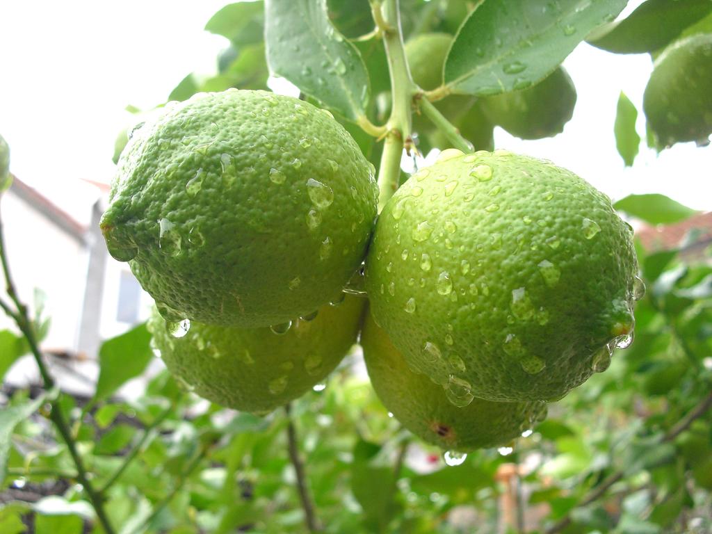Auch ein Symbol des Südens: Zitronen aus Kroatien.