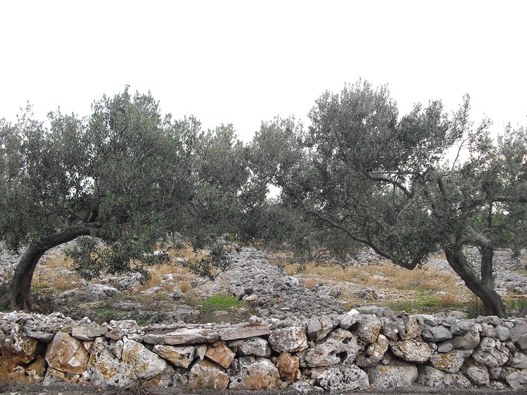 Olivenbäume im Hinterland der Adria.