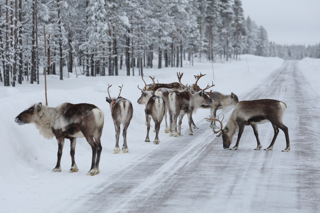 Am Polarkreis mit Elchen um die Wette driften
