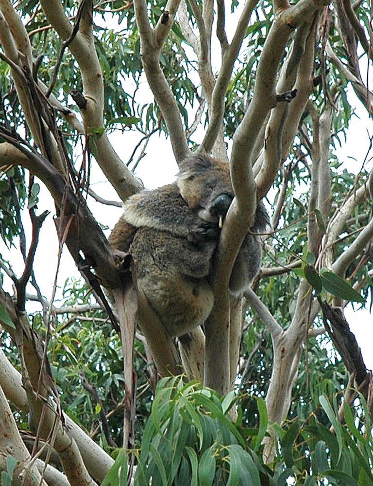 Koala im Eukalyptus-Baum am Cape Otway.
