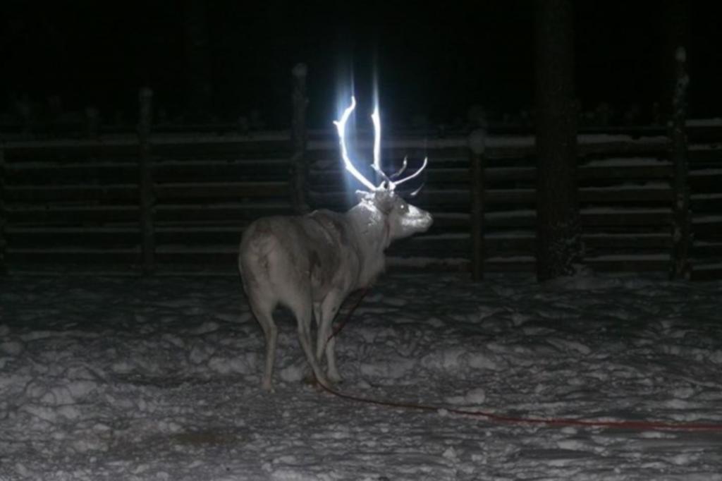 Mit einem reflektierenden Spray haben die Züchter derzeit testweise die Geweihe von zwanzig Tieren in der Region Rovaniemi besprüht