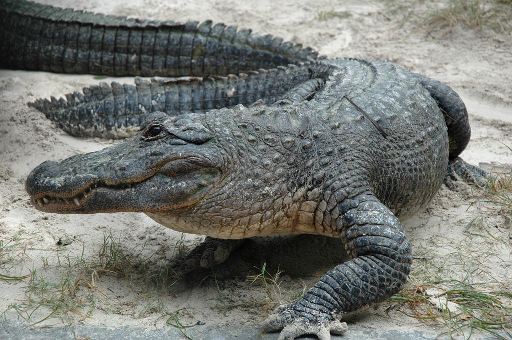 Alligatoren und sogar Krokodile leben in den Everglades.