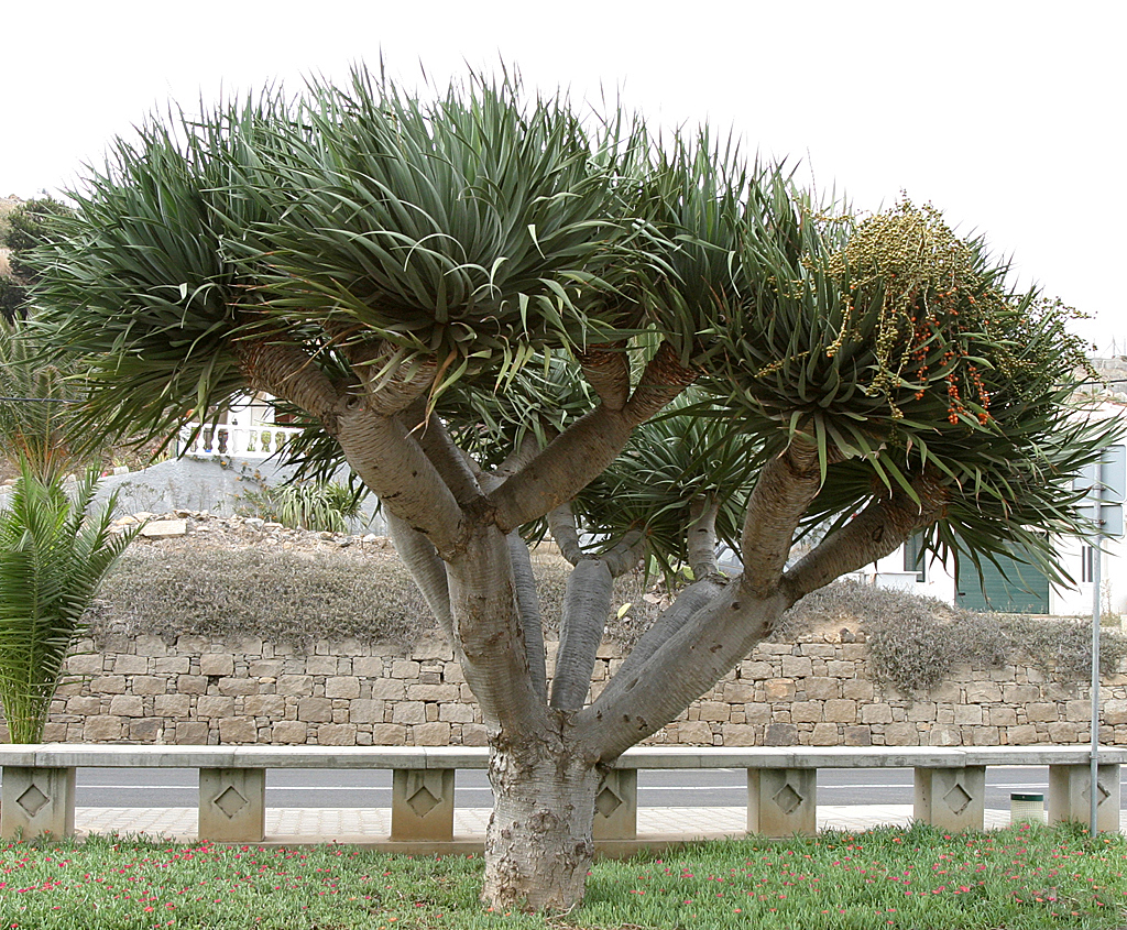 War schon verschwunden, doch den Drachenbaum gibt es jetzt wieder.