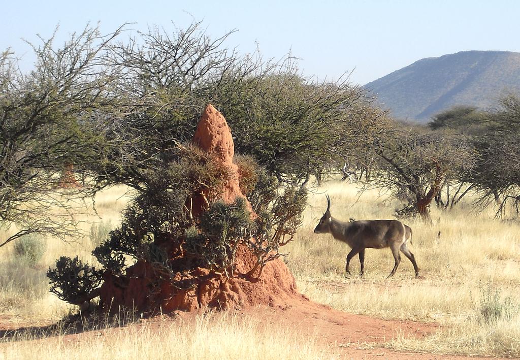 Wasserbock neben Termitenhügel im Okonjati-Reservat.