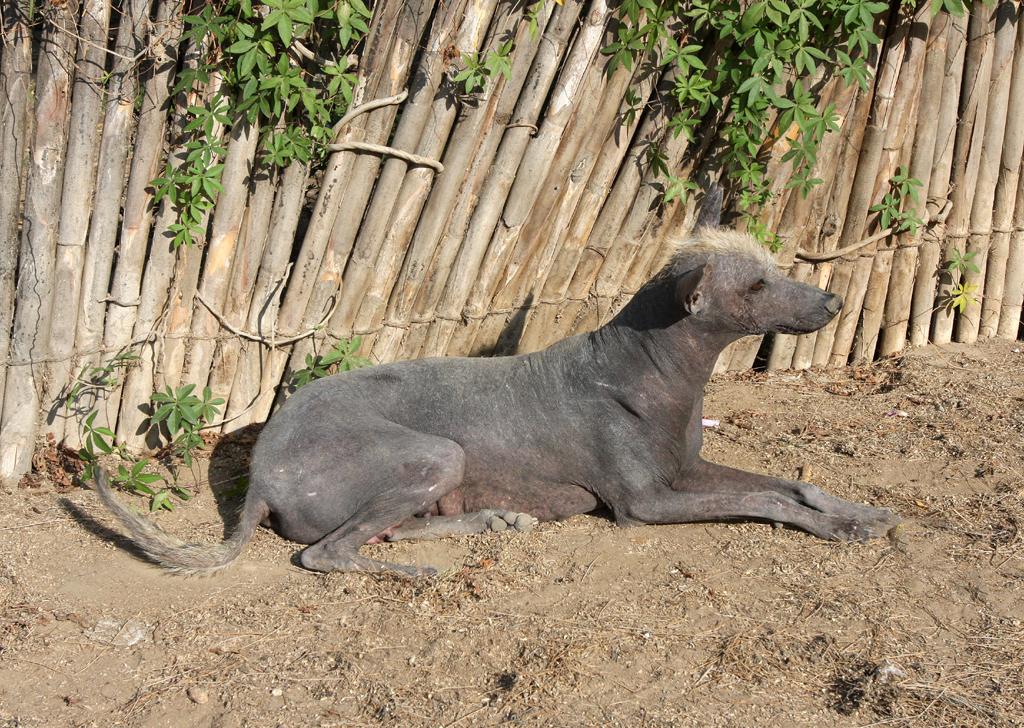 Auch die früheren Kulturen hielten schon Nackthunde wie den Viringo.
