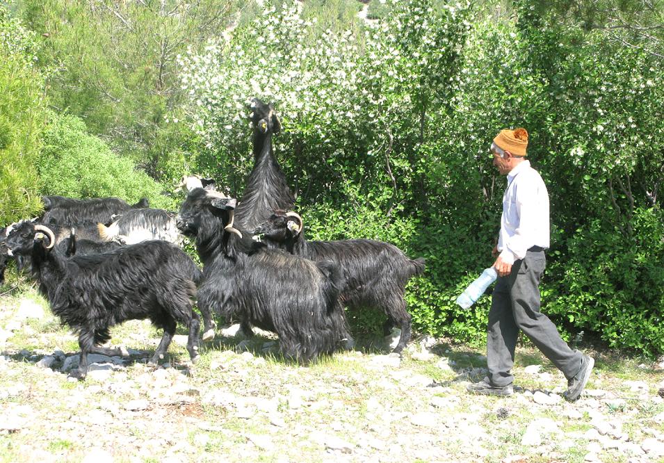 Eine Ziegenherde zieht samt Hirte ihres Weges.