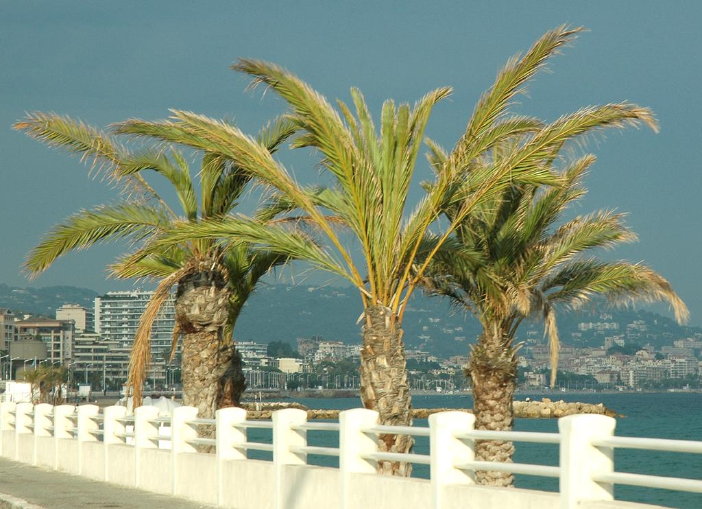 Hinter Palmen: Blick auf Cannes.