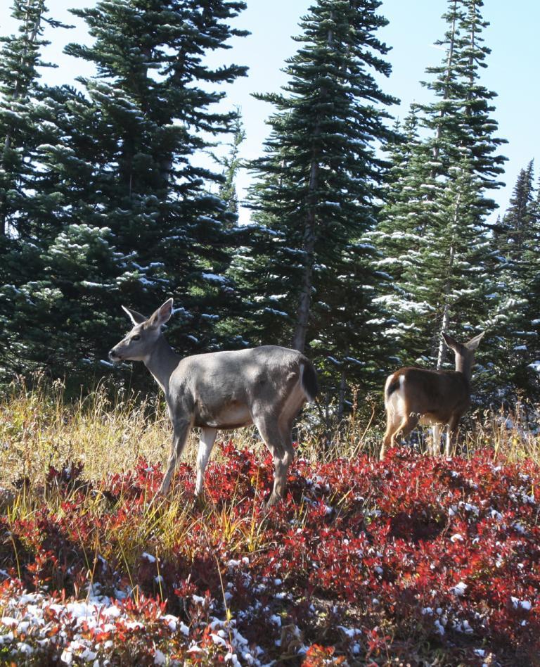 Fauna und Flora rund um den Mount Rainer sind vielfältig.