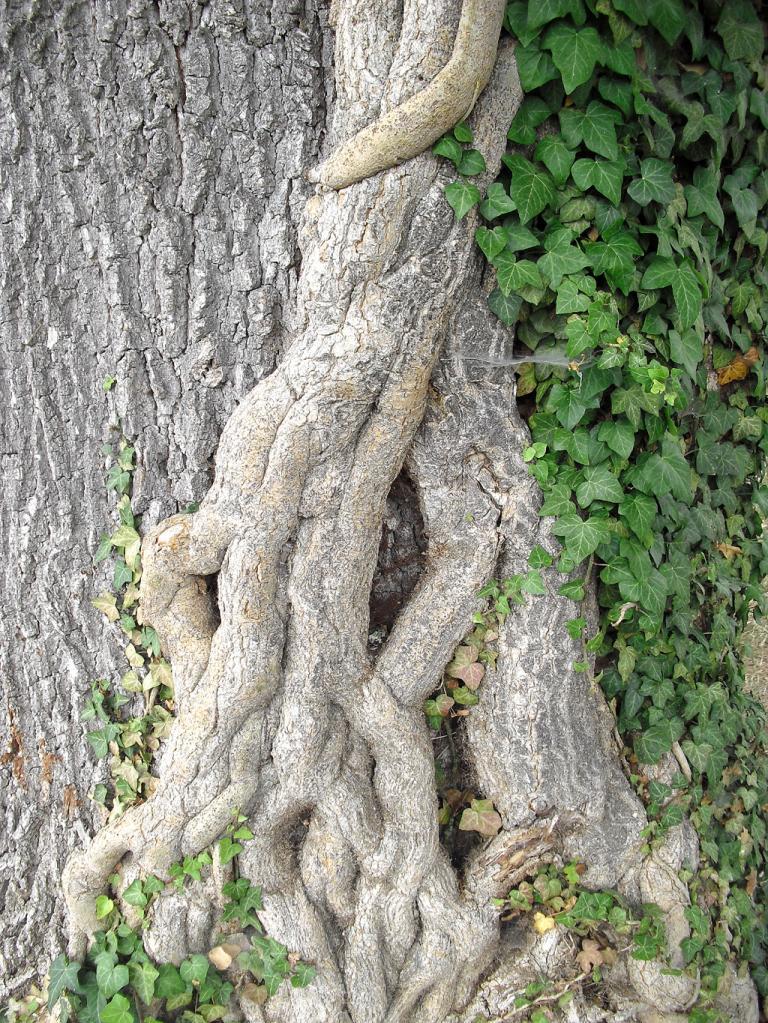 Stamm einer Säuleneiche im Rosengarten.