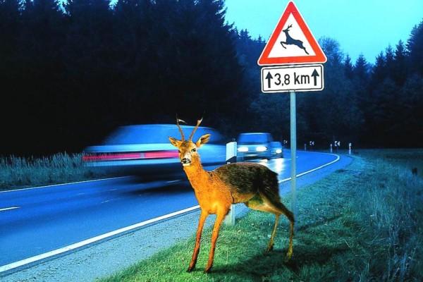 Tiere im Straenverkehr - Gefhrliche Rehe